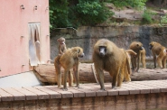 10-Affen