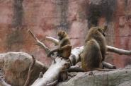11-Affen