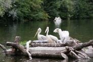 31-Pelikane