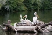 32-Pelikane