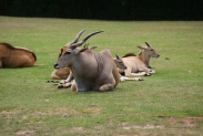44-Antilope