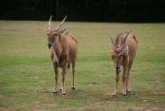 45-Antilopen