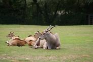 46-Antilopen
