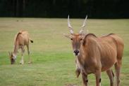 47-Antilopen