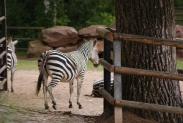 51-Zebra