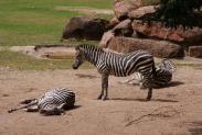 52-Zebras