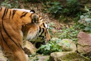 53-Tiger