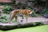 54-Tiger