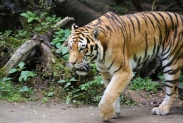 55-Tiger