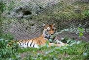 56-Tiger