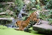 57-Tiger