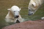 66-Eisbaeren