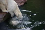 70-Eisbaeren