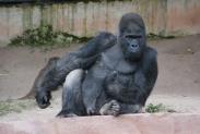 73-Gorilla