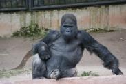 74-Gorilla