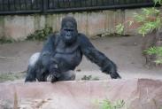 75-Gorilla