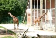 08-Giraffen