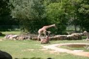 10-Giraffen