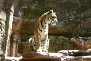 14-Tiger