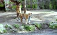 15-Tiger