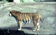 16-Tiger