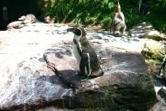 25-Pinguin