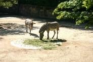 46-Zebras
