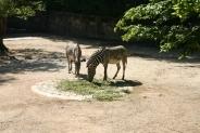 47-Zebras